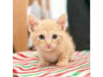 Adopt Mustang a Orange or Red Domestic Shorthair cat in Los Angeles