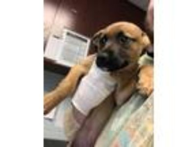 Adopt Sundance a Brown/Chocolate Mixed Breed (Large) / Mixed dog in