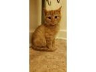 Adopt Gene Simmons a Orange or Red Domestic Shorthair / Domestic Shorthair /