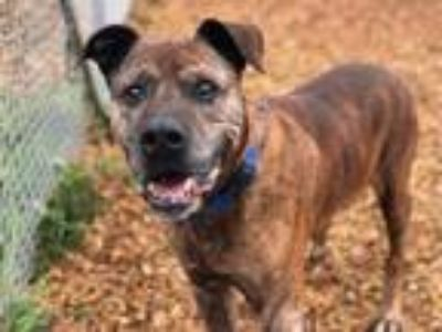 Adopt OTIS a Mastiff, Mixed Breed