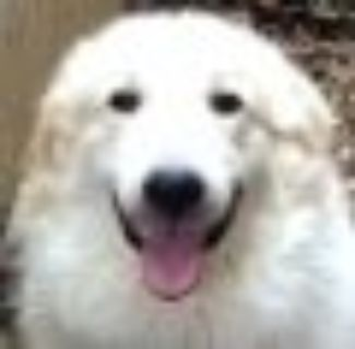 Landry Great Pyrenees - Collie Dog