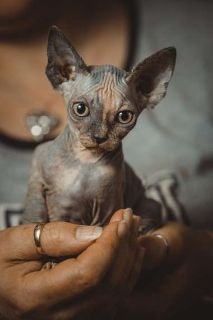 Absolutely Gorgeous Sphynx Kittens For Sale