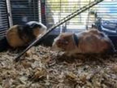 Adopt Guinea pigs galore a Abyssinian, Short-Haired