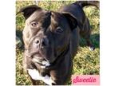 Adopt Sweetie a Black - with White Pit Bull Terrier / Mixed dog in Yorkville