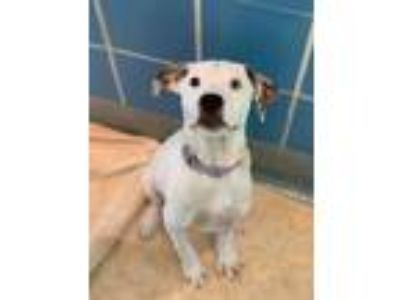 Adopt Riley a White American Pit Bull Terrier / Mixed dog in Longview