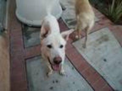 Adopt Ghost a White Labrador Retriever / Husky / Mixed dog in Moreno Valley