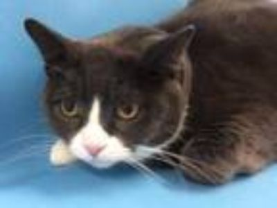 Adopt Flash a Gray or Blue Domestic Shorthair / Domestic Shorthair / Mixed cat