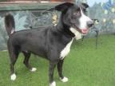 Adopt GALAXY a Border Collie, Mixed Breed