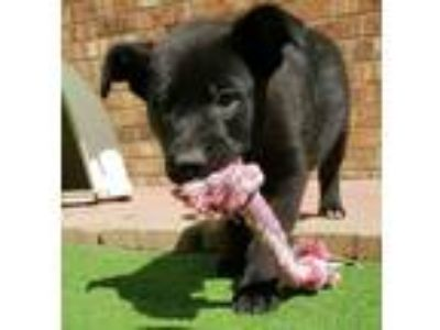 Adopt PETER a Border Collie, Labrador Retriever