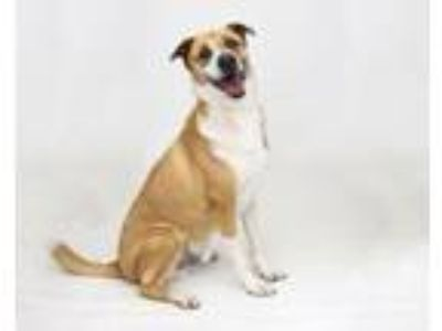 Adopt BUSTER a German Shepherd Dog, Labrador Retriever
