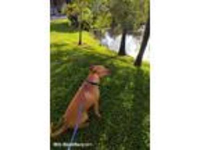 Adopt Marlo a Tan/Yellow/Fawn Labrador Retriever / Papillon / Mixed dog in North