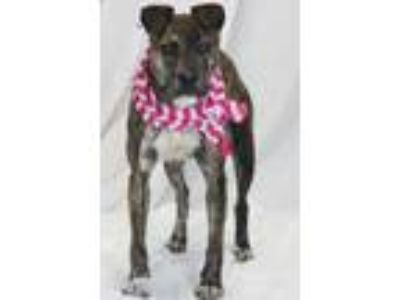 Adopt Abigail a Pit Bull Terrier, Mixed Breed