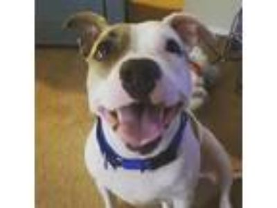 Adopt Iggy a White American Pit Bull Terrier / Mixed dog in Washington