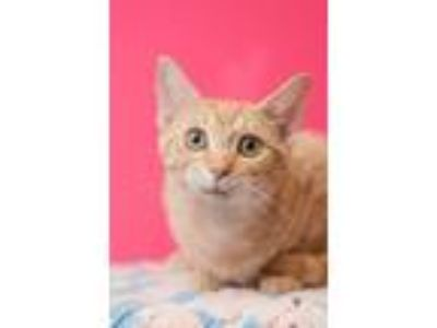 Adopt Hippity a Domestic Shorthair / Mixed (short coat) cat in Madison