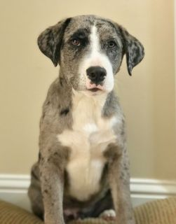 Catahoula Puppy