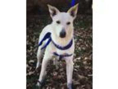Adopt Reba a Australian Cattle Dog / Blue Heeler