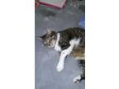 Adopt Whitey a Tiger Striped American Shorthair / Mixed cat in Woodland