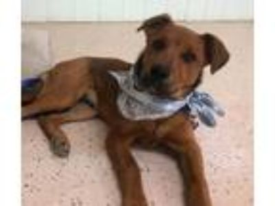 Adopt MAX a Brown/Chocolate Shepherd (Unknown Type) / Mixed dog in Pilot Point