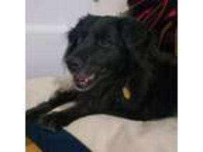 Adopt Khaleesi a Australian Cattle Dog / Blue Heeler