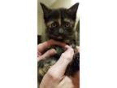Adopt Cocoa Williams a Domestic Shorthair / Mixed cat in Allen, TX (25663307)