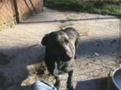 Adopt Rosebud a Black Labrador Retriever / Corgi / Mixed dog in Ellabell