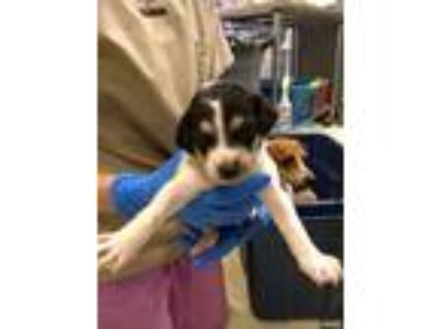 Adopt Jack a Terrier (Unknown Type, Medium) / Cattle Dog / Mixed dog in