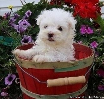 friendly Maltese puppies for sale