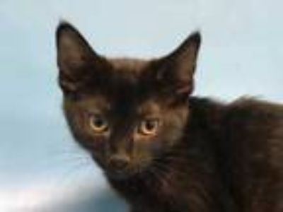 Adopt Ruby a All Black Domestic Shorthair / Mixed cat in Golden Valley