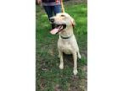 Adopt Honey a Labrador Retriever / Mixed dog in Commerce, TX (25338684)