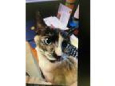 Adopt Blue a Tortoiseshell Siamese (short coat) cat in Baltimore, MD (24574200)