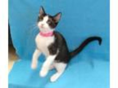 Adopt Kayde a Black & White or Tuxedo Domestic Shorthair (short coat) cat in
