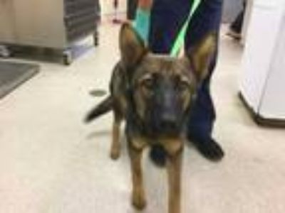 Adopt Dog a Brown/Chocolate - with Black German Shepherd Dog / Mixed dog in