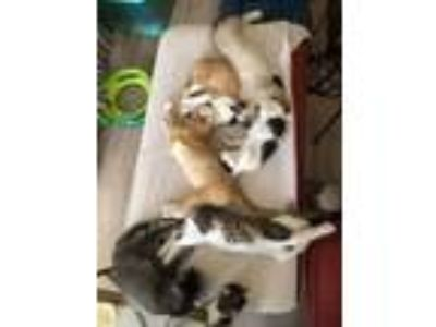 Adopt Kittens, Kittens, Kittens!!! a Domestic Shorthair / Mixed cat in Napa