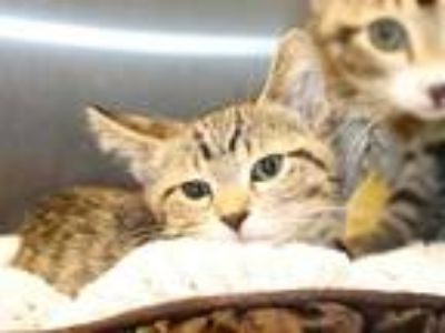 Adopt OLAF a Brown Tabby Domestic Shorthair / Mixed (short coat) cat in Maryland