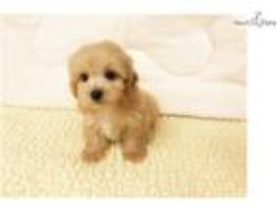 Cockapoo $950 (Empire Puppies [phone removed])