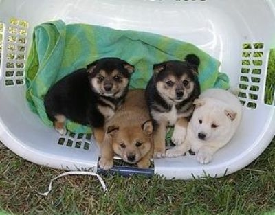 Protective Shiba Inu puppies available