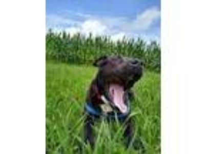 Adopt Chevy a Labrador Retriever