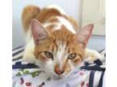 Adopt Reggie a White Domestic Shorthair / Domestic Shorthair / Mixed cat in