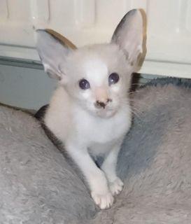 Doll Face White Persian Female Kitten
