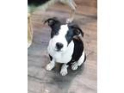 Adopt Ditto a American Staffordshire Terrier / Mixed dog in Raleigh