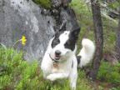 Adopt Thomas a Corgi, Border Collie