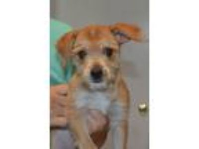 Adopt Sassy a Yorkshire Terrier, Beagle