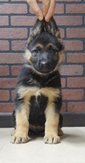 German Shepherd Dog PUPPY FOR SALE ADN-104828 - Beautiful German Shepherd puppies Almost Ready