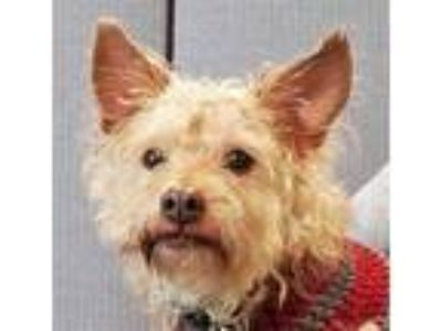 Adopt Little Bit a Tan/Yellow/Fawn Poodle (Toy or Tea Cup) / Mixed dog in Tulsa