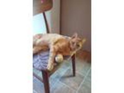 Adopt Cash a Orange or Red Domestic Shorthair / Mixed (short coat) cat in