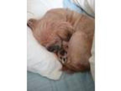 Adopt Quintus Harris a Tan/Yellow/Fawn Shih Tzu / Mixed dog in Houston
