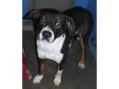 Adopt 336434 a Pit Bull Terrier