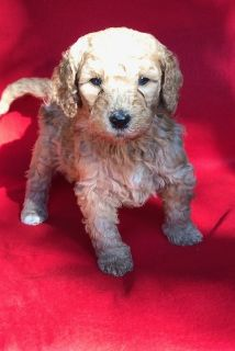 Goldendoodle PUPPY FOR SALE ADN-107256 - Goldendoodle Puppy Ready for Home