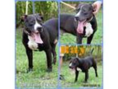 Adopt Ray a Pit Bull Terrier / Mixed dog in Abbeville, LA (25066568)