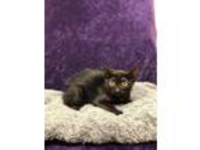 Adopt 42248825 a All Black Domestic Shorthair / Manx / Mixed cat in Bryan